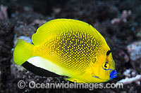 Three-spot Angelfish Apolemichthys trimaculatus Photo - Gary Bell