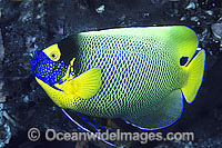 Blue-face Angelfish Pomacanthus xanthometopon Photo - Gary Bell