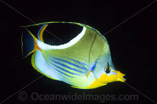 Saddled Butterflyfish (Chaetodon ephippium). Found throughout West-Pacific and eastern Indian Ocean, including the Great Barrier Reef, Australia