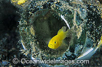 Yellow Pygmy-goby sheltering in bottle Photo - Gary Bell