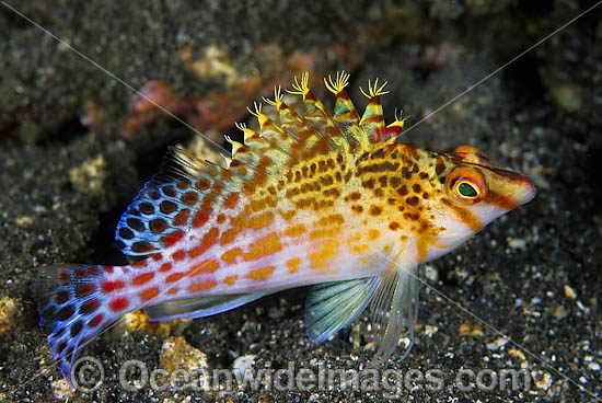 Hawkfish | Coral Hawkfish Images Photos