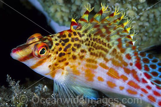Coral Hawkfish (Cirrhitichthys falco). Found on shallow coastal and outer reef slopes throughout the Indo-West Pacific, including the Great Barrier Reef, Australia