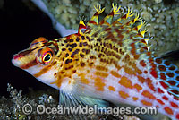 Hawkfish Cirrhitichthys falco photo