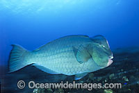 Humphead Parrotfish Bolbometopon muricatum photo