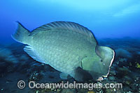 Humphead Parrotfish feeding on coral photo