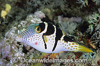 Saddled Pufferfish Canthigaster valentini Photo - Gary Bell