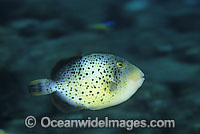 Yellow-margin Triggerfish juvenile photo