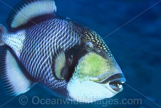 Titan Triggerfish (Balistoides viridescens). Found thoughout the Great Barrier Reef, NW Australia, SE Asia and Indo-central Pacific.