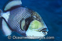 Titan Triggerfish Balistoides viridescens photo