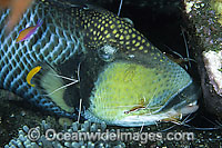 Titan Triggerfish cleaned by Cleaner Shrimp photo