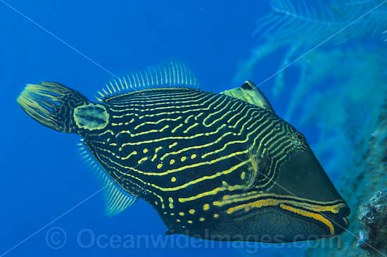 Orange-lined Triggerfish Balistapus undulatus photo