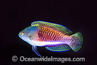Blue scaled Fairy-wrasse