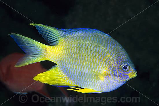 Golden Sergeant (Amblyglyphidodon aureus). Known as Lemon, Yellow and Golden Damsel. Found throughout West Pacific, including Great Barrier Reef, Australia, usually on coastal and outer reef slopes where they lay and guard their eggs on seawhip coral. Photo - Gary Bell