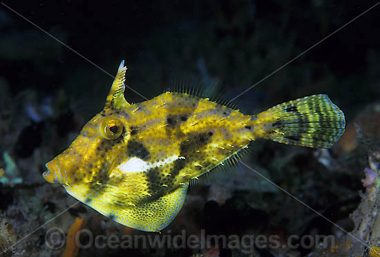 Spotted Filefish (Pseudomonacanthus macrurus). Also known as Strapweed Filefish. Found throughout West Pacific, Philippines to northern Australia, including Great Barrier Reef. Within the Coral Triangle. Photo - Gary Bell