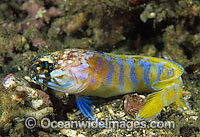 Gold-specs Jawfish Opistognathus sp. Photo - Gary Bell