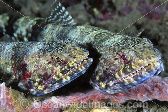 Variegated Lizardfish (Synodus variegatus) - pair. Found on coastal and outer coral reefs throughout the Indo-West Pacific, including the Great Barrier Reef, Australia