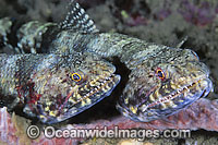Variegated Lizardfish Synodus variegatus Photo - Gary Bell