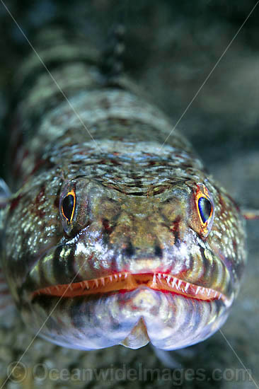Variegated Lizardfish (Synodus variegatus). Found on coastal and outer coral reefs throughout the Indo-West Pacific, including the Great Barrier Reef, Australia Photo - Gary Bell