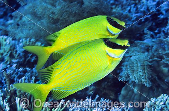 Masked Rabbitfish (Siganus puelius). Found throughout West-Pacific, including the Great Barrier Reef, Australia Photo - Gary Bell