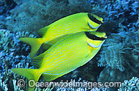 Masked Rabbitfish Siganus puelius Photo - Gary Bell