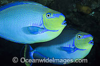 Surgeonfish unicornfish photos pictures images for Big nose fish