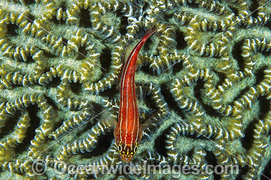 Striped Threefin (Helcogramma striatum) - on brain coral. Also known as Triplefin. Found on tropical coral reefs throughout the West Pacific from Japan to northern Australia