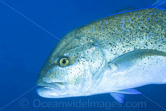 Blue-fin Trevally (Caranx melampygus). Found in all tropical seas throughout the world. Usually seen solitary or in small groups.