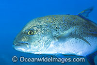 Blue-fin Trevally Caranx melampygus Photo - Gary Bell