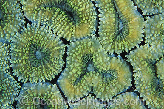 Mussid Coral (Lobophyllia sp.) - showing polyp detail. Found throughout the Indo-West Pacific, including the Great Barrier reef, Australia