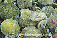 Mushroom Coral polyp detail Photo - Gary Bell