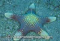 Sea Star Pentaceraster regulus Photo - Gary Bell