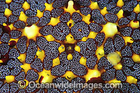 Sea Star detail Photo - Gary Bell