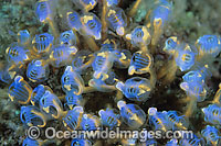 Blue Sea Tunicates Photo - Gary Bell