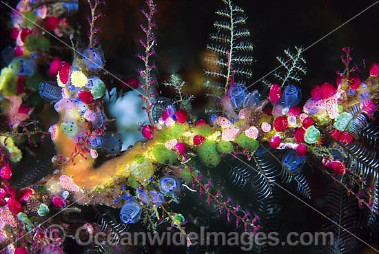Cluster of colourful Sea Tunicates, also known as ascidians, Strawberry Tunicate (Didemnum cf. moseleyi), Black Spotter Tunicate (Clavelina moluccensis) and Stinging Hydroid. Found throughout Indo-West Pacific. Photo taken Tulamben, Bali, Indonesia
