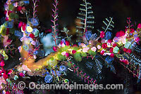 Colourful Sea Tunicates Photo - Gary Bell