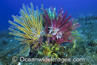 Feather Star Comaster multibrachiatus Photo - Gary Bell