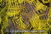 Feather Star feeding arms photo