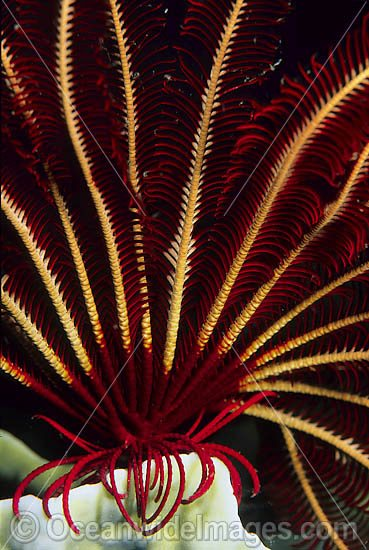 Crinoid Feather Star (Himerometra robustipinna) - detail of tubed feet and feeding arms. Also known as Crinoid. Found throughout the Indo-West Pacific, including the Great Barrier Reef, Australia Photo - Gary Bell