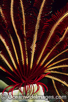 Feather Star tubed feet and arms Photo - Gary Bell