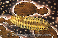 Polynoid Worm living on Sea Cucumber
