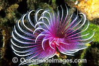 Feather Duster Tubeworm Photo - Gary Bell