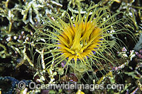 Tubed Sea Anemone Photo - Gary Bell