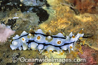 Sea Cucumber with feeding mouth extended