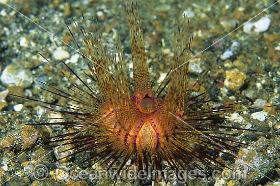 Fire Urchin (Astropyga radiata). Also known as Red Urchin and False Fire Urchin. Found throughout the Indo Pacific. Photo taken off Anilao, Philippines.