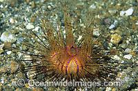 Fire Urchin Photo - Gary Bell