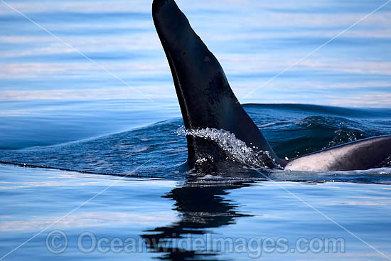 Orca, or Killer Whale (Orcinus orca) - showing dorsal fin on surface. Photo taken at Punta Norte, Peninsula Valdes, Argentina. Orca's are listed as Lower Risk on the IUCN Red List.