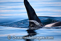 Killer Whale attacking sea lion image