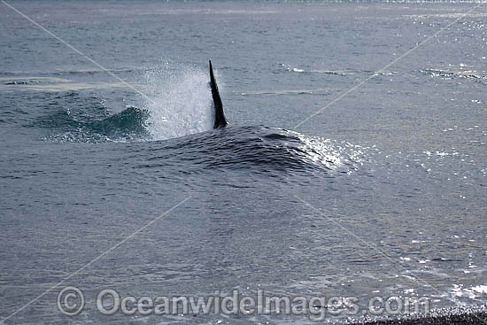 Orca, or Killer Whale (Orcinus orca) - approaching shore to attack a South American Sea Lion (Otaria flavescens). Photo taken at Punta Norte, Peninsula Valdes, Argentina. Orca's are listed as Lower Risk on the IUCN Red List. Sequence 1. Photo - Chantal Henderson