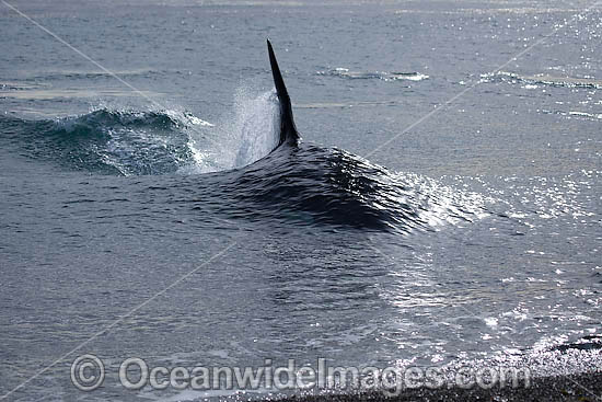 Orca, or Killer Whale (Orcinus orca) - approaching shore to attack a South American Sea Lion (Otaria flavescens). Photo taken at Punta Norte, Peninsula Valdes, Argentina. Orca's are listed as Lower Risk on the IUCN Red List. Sequence 2.