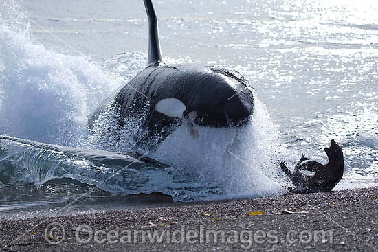 Orca attacking sea lion on shore photo